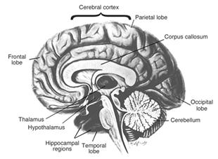 Areas of the brain vulnerable to damage by alcohol